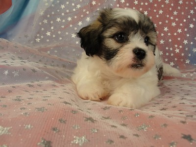 Teddy Bear Puppies Black And White Male teddy bear puppy for sale