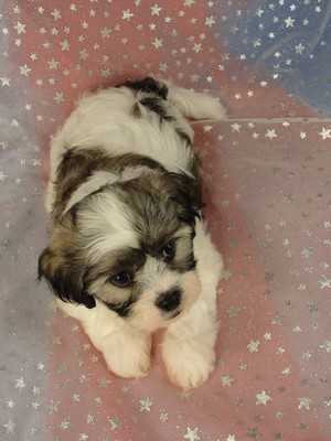 Male Shih Tzu Bichon for sale|Iowa Breeder|$575