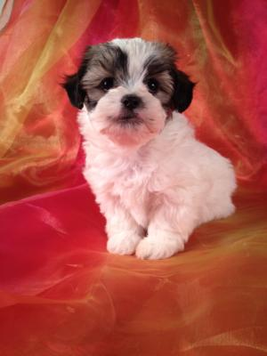 Teddy Bear Shih tzu Bichon Breeder with Puppies for sale