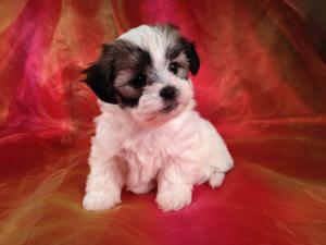 Teddy Bear Shih tzu Bichon Breeder with Puppies for sale|Shipping to
