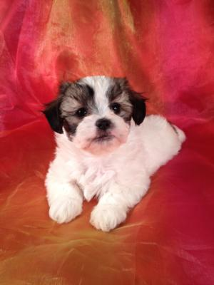 Shih Tzu Bichon Puppies for Sale | Shih Tzu Bichon Breeder in Iowa