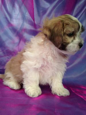 Male Teddy bear Puppy for sale Born 1-16-15 Ready March 2015 2