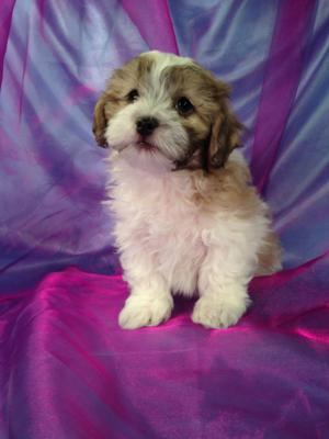 Male Teddy bear Puppy for sale Born 1-16-15 Ready March 2015
