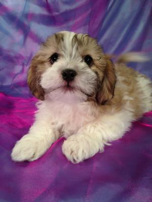 Male Teddy bear Puppy for sale Born 1-16-15 Ready March 2015 4