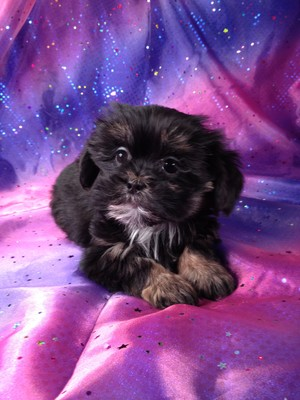 Female Lhasa Bichon #1|Many Teddy bear Breeders in Florida sell teddy bears for over $1000|With shipping to Florida included, we charge less
