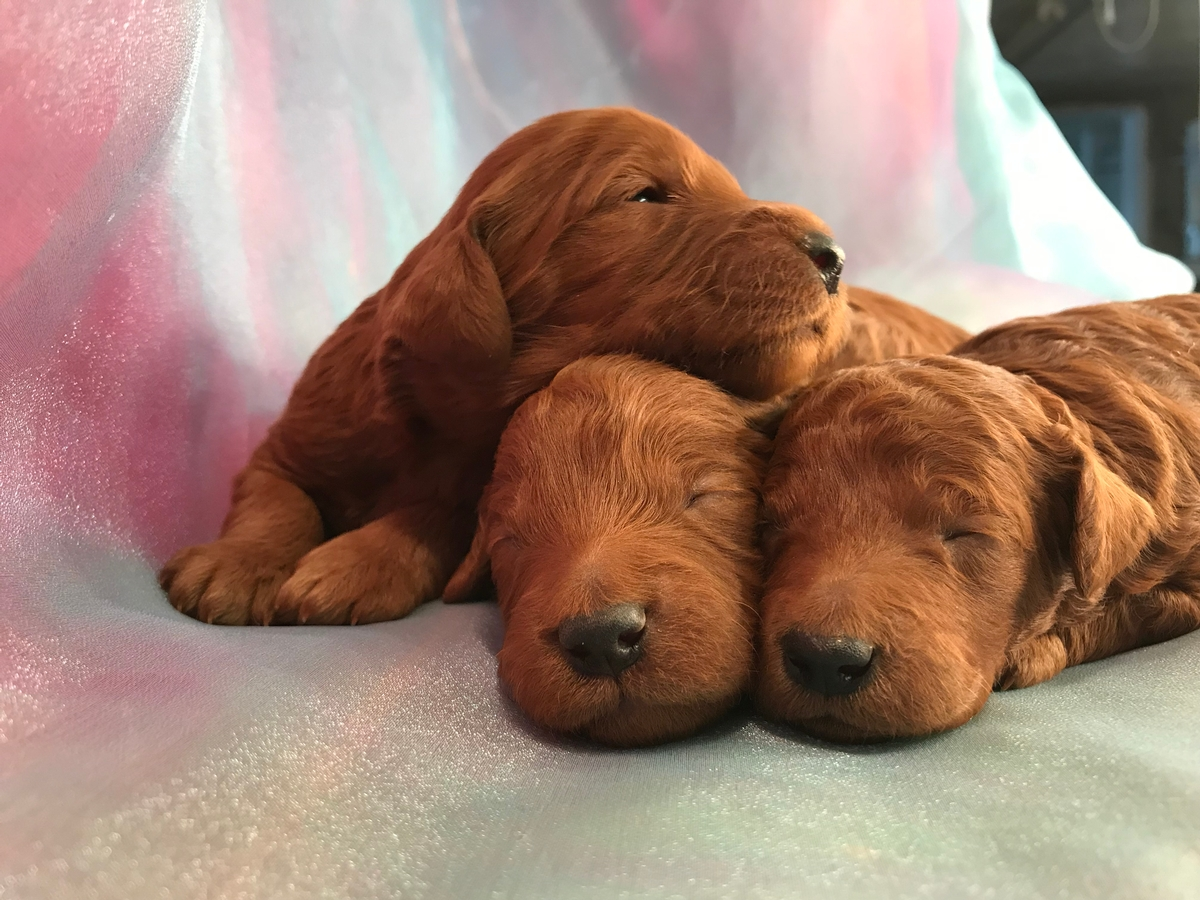 Three Mini Golden Doodles