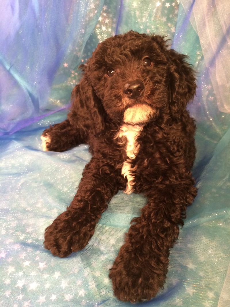 Black and White Male Miniature Goldendoodle Pup Born 9-1-2016