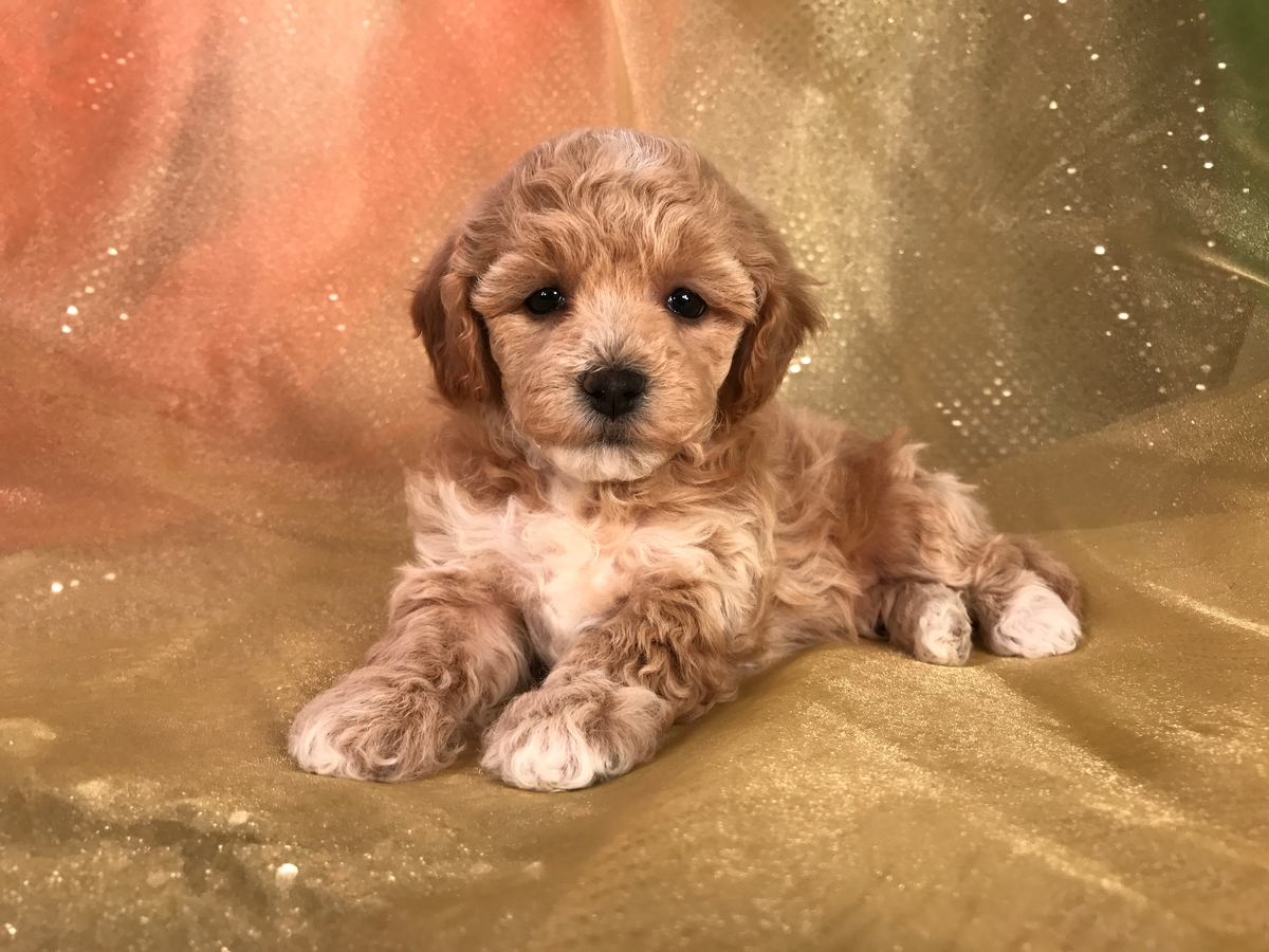 Female Apricot and White Bichon Poodle Puppy for Sale Date of Birth 10-16-2018 $975
