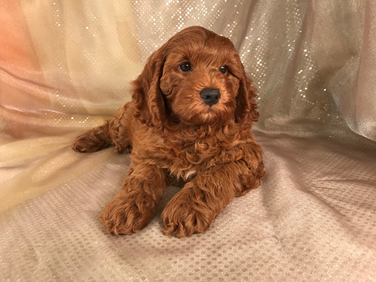 Dark Red Cockapoo Puppies For Sale In Iowa Professional Breeders