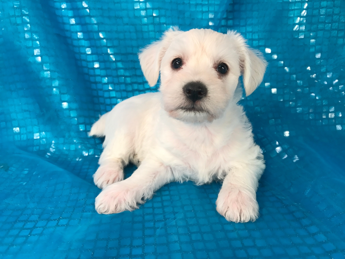 Female Schnoodle Puppy for Sale 3