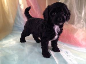 Mini Black and White Female Goldendoodle Pup for Sale In North Iowa