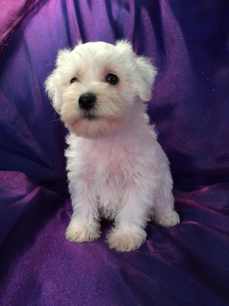 Female White Miniature schnoodle pup for sale near Illinois, Minnesota, Michigan, and Wisconsin.