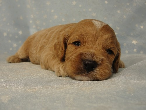 Male Cockapoo Puppy for Sale #18 Born July 5, 2011 5