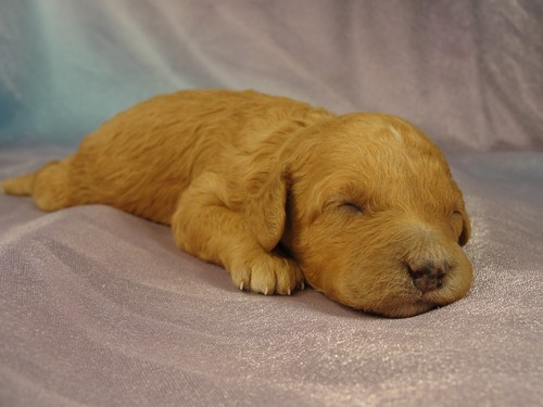 Female Bichon poodle Puppy for sale #1 Born February 5, 2012 4