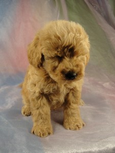 Male Bichon poodle 10 puppy for sale Iowa 2012 4