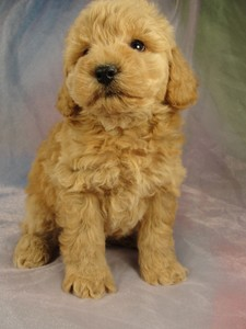 Male Bichon poodle 10 puppy for sale Iowa 2012 3