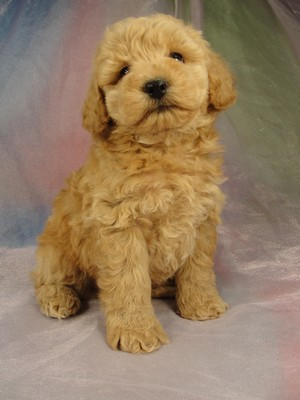 Male Bichon poodle 10 puppy for sale Iowa 2012