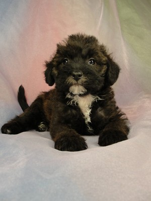 Male Bichon poodle Puppy for sale #13 Born April 2, 2012