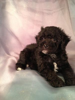 Male Black and white Bichon Poodle Puppies for sale Born April 5th 2013|Bichon poodle Breeders in Illinois and Wisconsin are welcome buyers at Purebredpups!