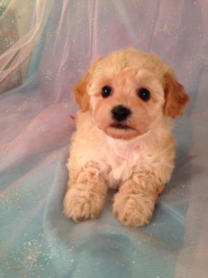 Female Apricot Poodle Bichon mix for sale #2 Born April 5th 2013|E-Z Pick up for Minnesota,Illinois, and Wisconsin
