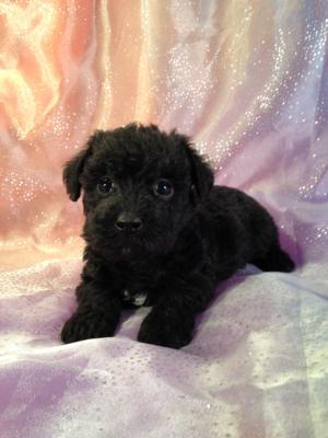 Female Black and White Miniature Schnoodle Puppy For Sale #8 DOB 10-19-14 2