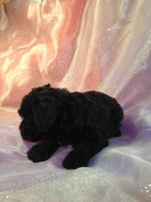 Female Black and White Miniature Schnoodle Puppy For Sale #8 DOB 10-19-14 3