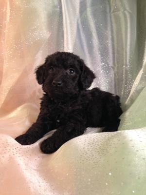 Male Schnoodle Puppy for Sale #5 DOB 10-19-14  Call Iowa's best miniature schnoodle breeder for an appointment today!