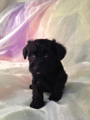 Female schnoodle Puppy for sale in North Iowa #4 DOB 10-19-14 Black and White Puppies  2