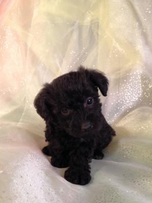 Female schnoodle Puppy for sale in North Iowa #4 DOB 10-19-14 Black and White Puppies  3