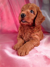 Miniature Goldendoodles Breed Photo