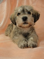 Schnoodle Breed Photo