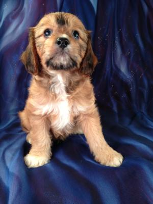Male Cavachon Puppy for sale #1 Born May 19th 2013|Looking for a new Cavachon Pup around Illinois, Wisconsin, Minnesota, or Iowa?