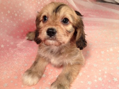 Tan and Brown Male Cavachon Puppy for sale in Iowa 2012 September