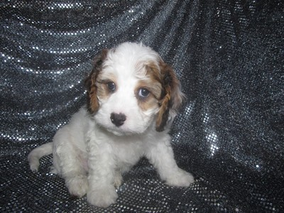 Male cavachon Puppy for sale #30 Ready Christmas 2012|Easy find for Illinois, Wisconsin, and Minnesota