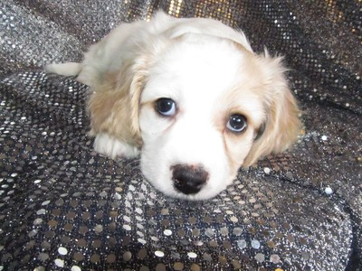 Female Cavachon Puppy for sale #34 Ready Christmas Time 2012|Born October 21st 2012