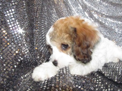 Female cavachon Puppy #36|Christmas puppies|Cavachon Breeders|Credit cards accepted|Visa and MasterCard