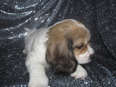 Male cavachon Puppy for sale #39 Ready December 2012|Shipping to Philadelphia PA only $150|PHL
