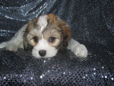 Female Cavachon Puppy for sale #42|Shipping only $150 on Delta air to Newark, New Jersey|Cavachon Breeder
