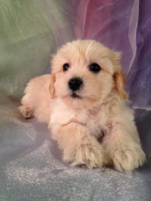 Cavachon Puppies for Sale | Cavachon Breeder in Iowa