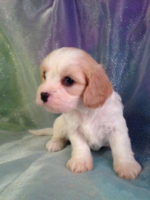 White and apricot male cavachon pup for sale #4  DOB 10-25-14 Always the best choice of breeders within all of Wisconsin, Illinois, Iowa, and Minnesota.