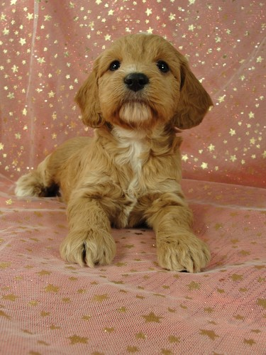 Cockapoo pups for sale Male Puppy #34 Born September 11, 2011 4