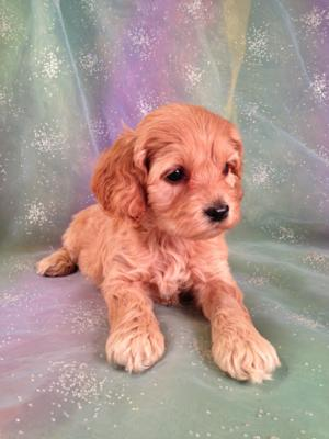 Male cockapoo Puppy for sale #3 Born September 14th 2013|Cockapoo Breeders in Maryland and Massachusetts receive 5% off puppies for sale!