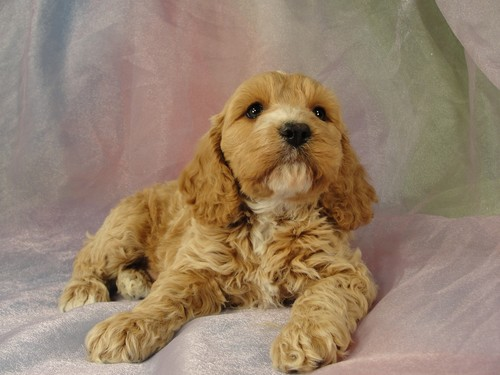 Male Cockapoo Puppy for sale #1 Born February 15, 2012 3