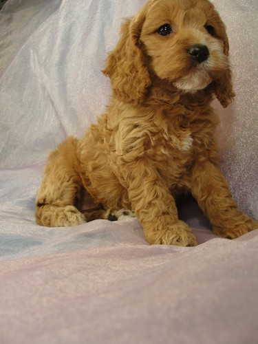 Female cockapoo Puppy for sale #22 Born February 15, 2012 2