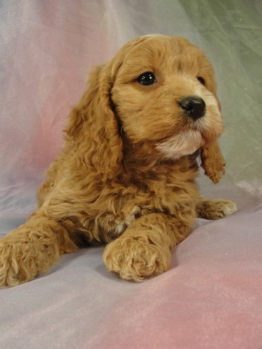 Female cockapoo Puppy for sale #22 Born February 15, 2012 3