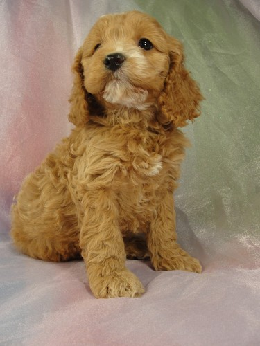 Female cockapoo Puppy for sale #22 Born February 15, 2012