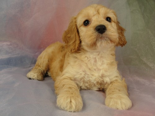 Female Cockapoo puppy for sale #24 Born February 15, 2012