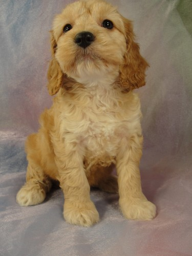 Female Cockapoo puppy for sale #24 Born February 15, 2012  2