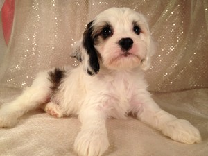 Male cockapoo pup for sale iowa Breeder Summer of 2012
