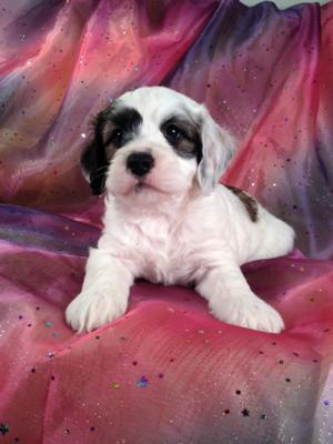 Male Cockapoo Puppy for sale #6 Born January 10th 2014|Sable and White|$675|Ready March 2014! 3